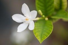 Flor da Via Látea do Snowflake/ Imagens de Stock