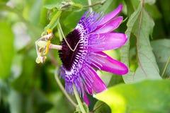 Flor da videira da paixão Fotografia de Stock