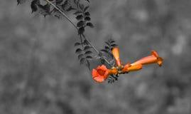 Flor da videira de trombeta do rastejamento Imagens de Stock Royalty Free