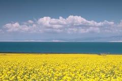 Flor da violação no lago Qinghai Fotos de Stock