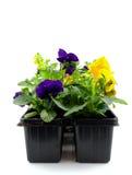 Flor da viola pronta para jardinar imagem de stock