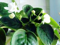Flor da violeta branca Fotografia de Stock Royalty Free
