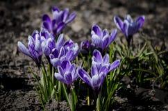 Flor da violeta da mola do açafrão Açafrão violeta de florescência na mola adiantada Fotografia de Stock Royalty Free