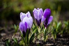 Flor da violeta da mola do açafrão Açafrão violeta de florescência na mola adiantada Fotos de Stock