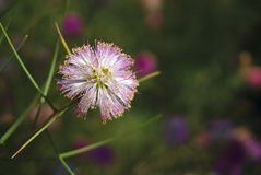 Flor dada forma bola na cor roxa e branca imagem de stock