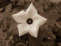 Flor dada forma estrela com pingos de chuva fotografia de stock royalty free