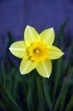 flor Daffodil-amarela imagens de stock