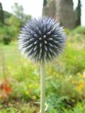 Flor danesa redonda de la bola Fotografía de archivo libre de regalías