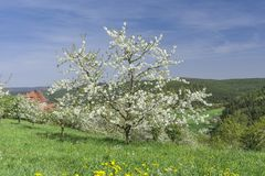 Flor das árvores de cereja Foto de Stock Royalty Free