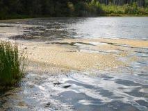 Flor das algas durante um verão quente fotos de stock royalty free