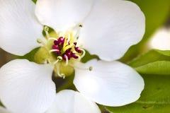 Flor das amêndoas Fotografia de Stock Royalty Free