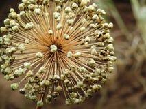 Flor das cebolas Fotografia de Stock