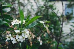 Flor das cerejas Foto de Stock Royalty Free