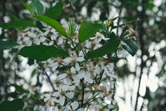 Flor das cerejas Fotografia de Stock Royalty Free