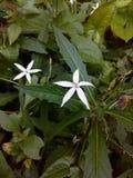 flor 2 das estrelas Fotografia de Stock
