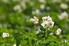 Flor das flores brancas das batatas no campo Imagem de Stock