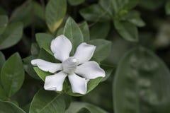 Flor das flores brancas no fundo borrado Imagens de Stock