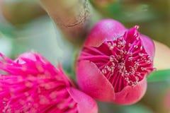 Flor das maçãs de Rosa na árvore Imagem de Stock Royalty Free
