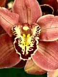 Flor das orquídeas Foto de Stock Royalty Free