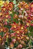 Flor das orquídeas Fotografia de Stock Royalty Free