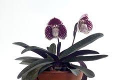 Flor das orquídeas do Paphiopedilum Imagens de Stock