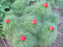 flor das peônias Fotografia de Stock