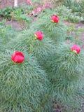 flor das peônias Fotos de Stock