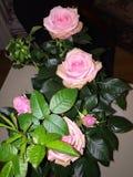 Flor das rosas Foto de Stock Royalty Free