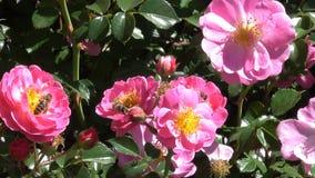 Flor das rosas do jardim no jardim botânico video estoque