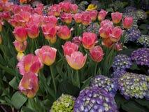 Flor das tulipas Fotografia de Stock