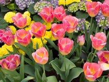 Flor das tulipas Fotos de Stock Royalty Free