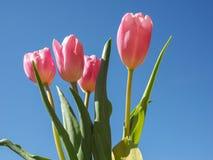Flor das tulipas Foto de Stock