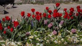 Flor das tulipas da cor vermelha na mola Fotografia de Stock Royalty Free