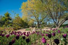 Flor das tulipas em Denver Botanic Gardens fotos de stock royalty free