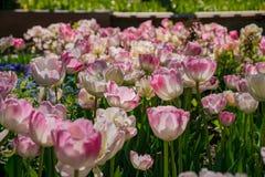 Flor das tulipas em Denver Botanic Gardens imagem de stock royalty free