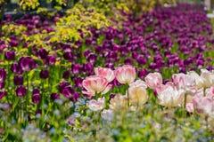 Flor das tulipas em Denver Botanic Gardens imagem de stock