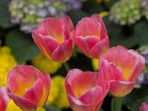 Flor das tulipas no fim acima Imagens de Stock