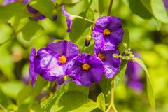 Flor das violetas fotografia de stock royalty free