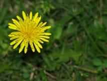 Flor dasiy amarilla hermosa foto de archivo libre de regalías