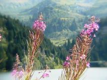 Flor de épilobe na orelha cor-de-rosa Fotografia de Stock