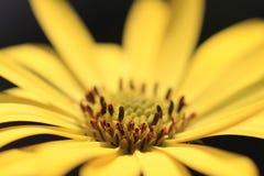 Flor de Оsteospermum Fotografia de Stock