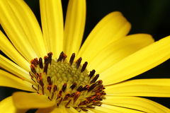 Flor de Оsteospermum Foto de Stock
