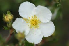 Flor de Abbotswood Imagem de Stock Royalty Free