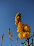 Flor de Acapulco Imagen de archivo