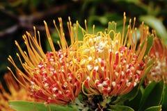 Flor de acerico Foto de archivo libre de regalías