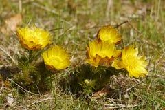Flor de Adonis en la naturaleza salvaje Fotografía de archivo libre de regalías