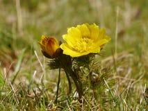 Flor de Adonis en la naturaleza salvaje Fotografía de archivo