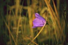 Flor de alarma azul Foto de archivo