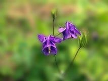 Flor de alarma azul Imágenes de archivo libres de regalías