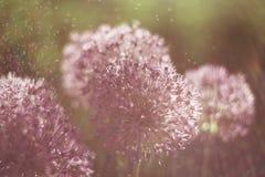 A flor de Alium com ?gua da sagacidade da estrutura da flor do dente-de-le?o deixa cair Macro Foco macio Profundidade de campo ra fotos de stock